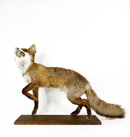 Vintage taxidermy red fox