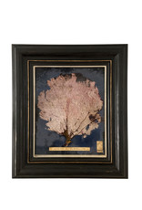 Pink Gorgonia seafan in Antique frame