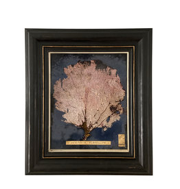 Pink Gorgonian seafan in Antique frame