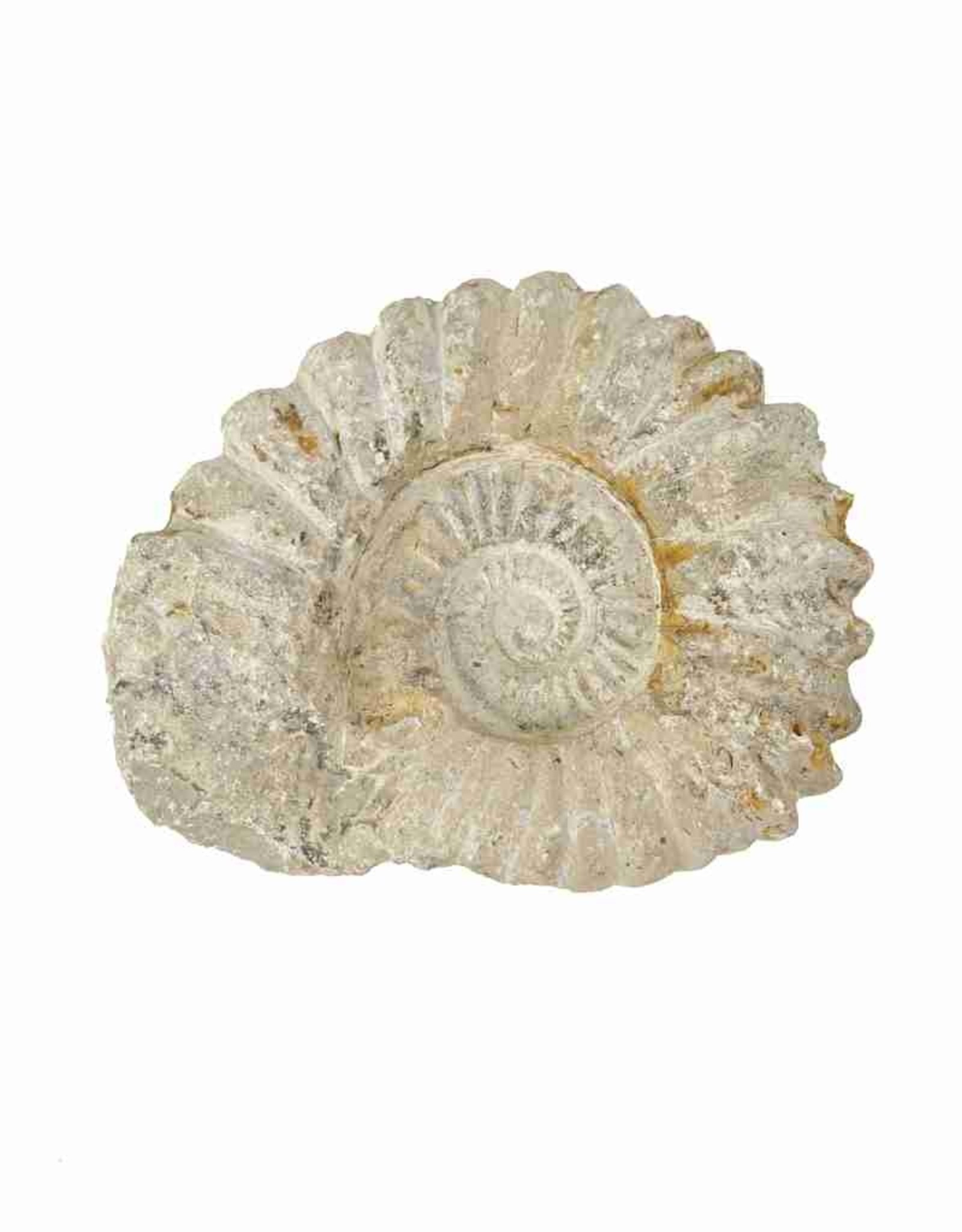 Ammonite, 15.5 x 13 x 2.5 cm