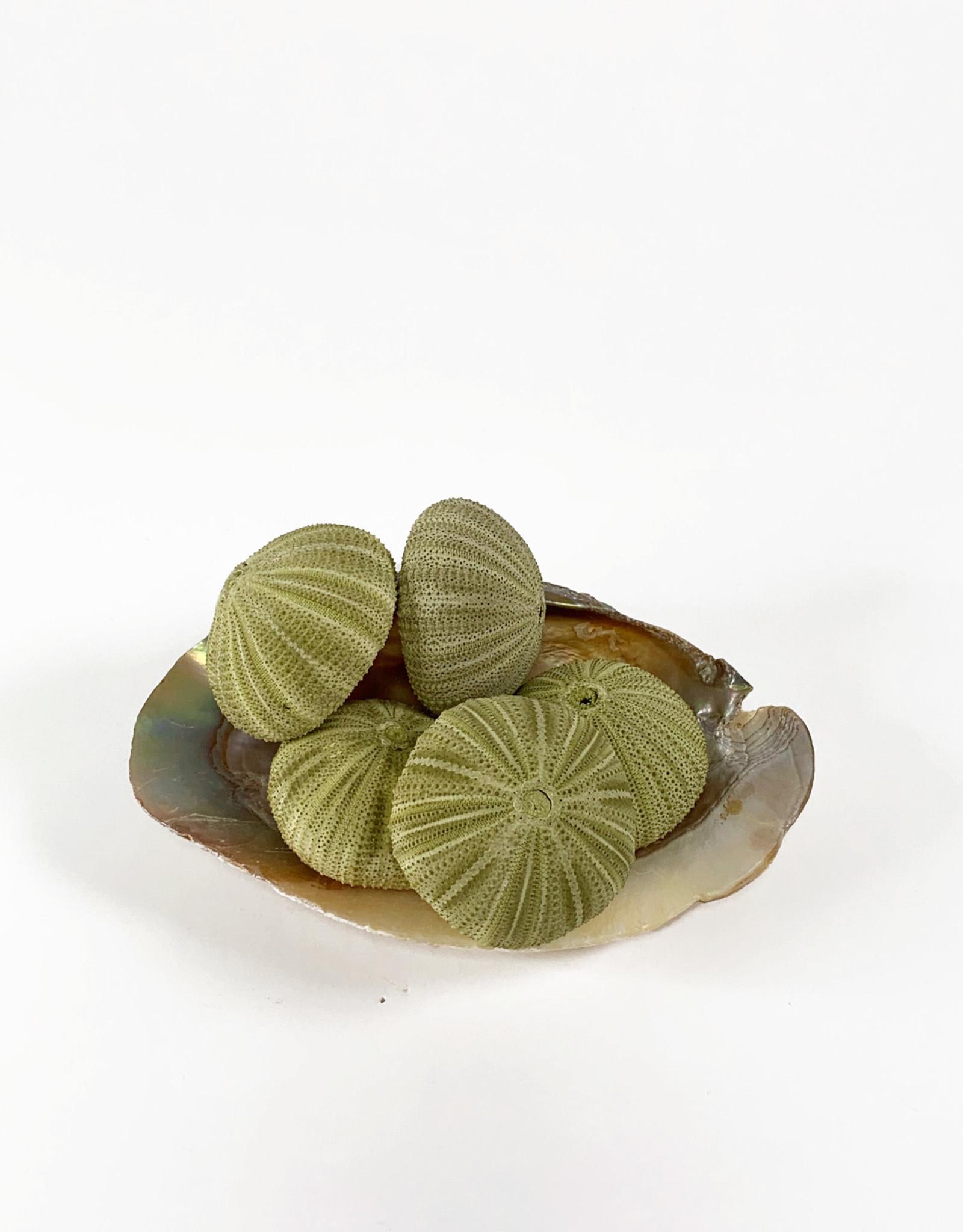 Little green sea urchin