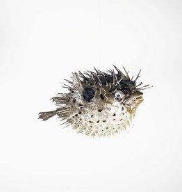 Little porcupine fish