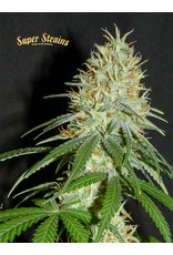Superstrains Seeds 7th Wave
