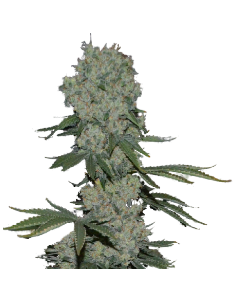 Superstrains Seeds Enemy of the State