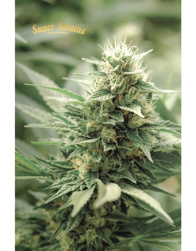 Superstrains Seeds Superstrains: Agartha (CBD)