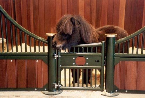 8 Reasons Shetland Ponies are super Fun! | HorseGloss