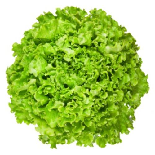 Eikenbladsla Groen  per stuk