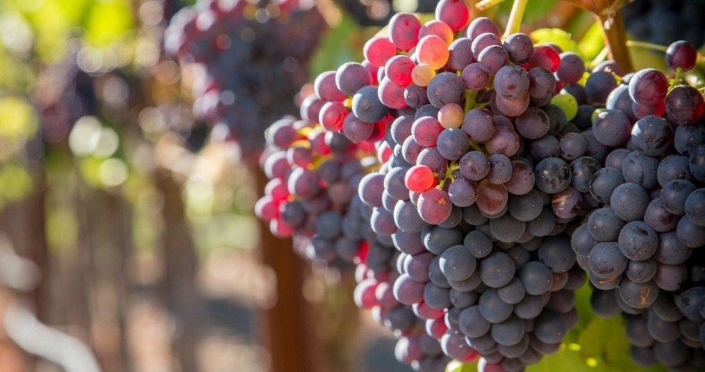 De 10 meest populaire druivensoorten van de wereld