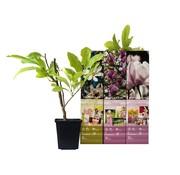 Flower-up Flower-up Set van 3 Magnolia 30-40 cm