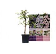 Flower-up Flower-up Set van 3 Clematis 30-40 cm