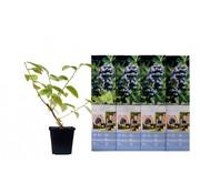 Flower-up Flower-up Set van 4 Blauwe Bes Planten 30-40 cm