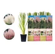 Flower-up Flower-up Set van 4 Pampasgras Planten 30-40 cm