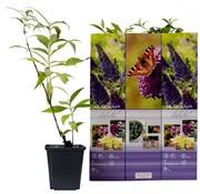 Flower-up Flower-up Set van 3 Vlinderstruiken 30 - 40 cm