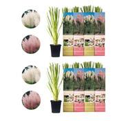 Flower-up Flower-up Set van 8 Pampasgras Planten 30-40 cm