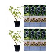 Flower-up Flower-up Set van 8 Blauwe Bes Planten 30-40 cm