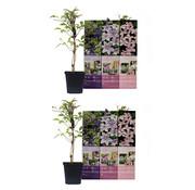 Flower-up Flower-up Set van 6 Clematis 30-40 cm