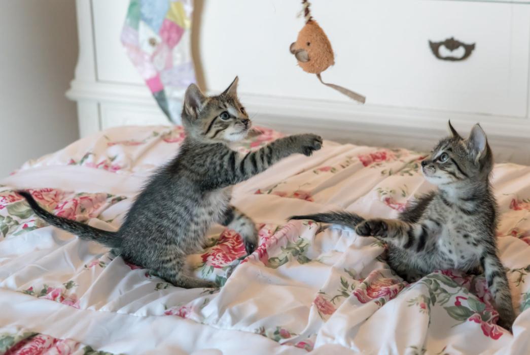 Twee kittens die spelen met hengel waar een vis van stof aan hangt.