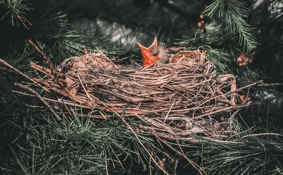 Vogeltje in nest met bek omhoog om gevoed te worden