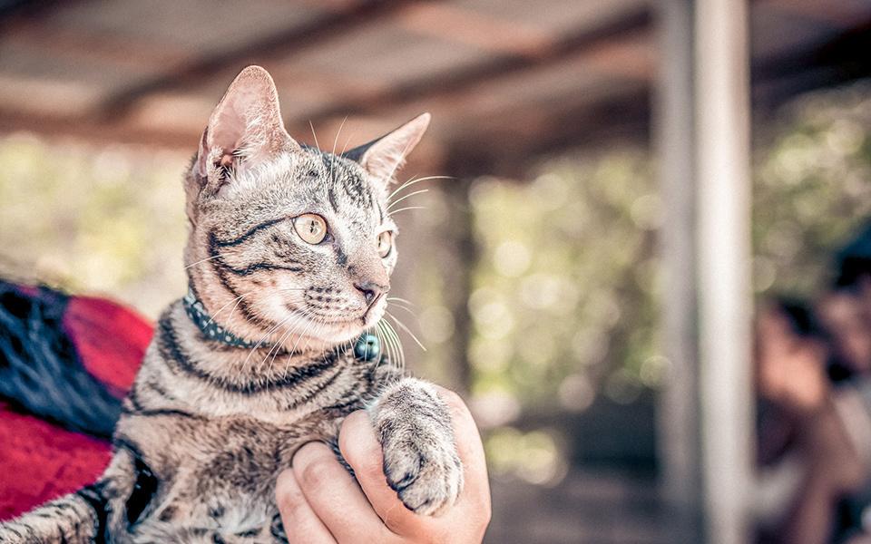 Kat met gestreepte vacht die door hand tegen de borst aangehouden wordt.
