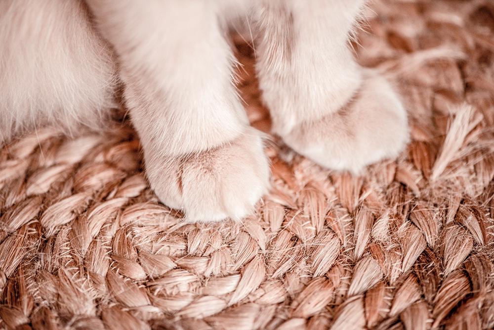 De voorpoten van een witte kat.