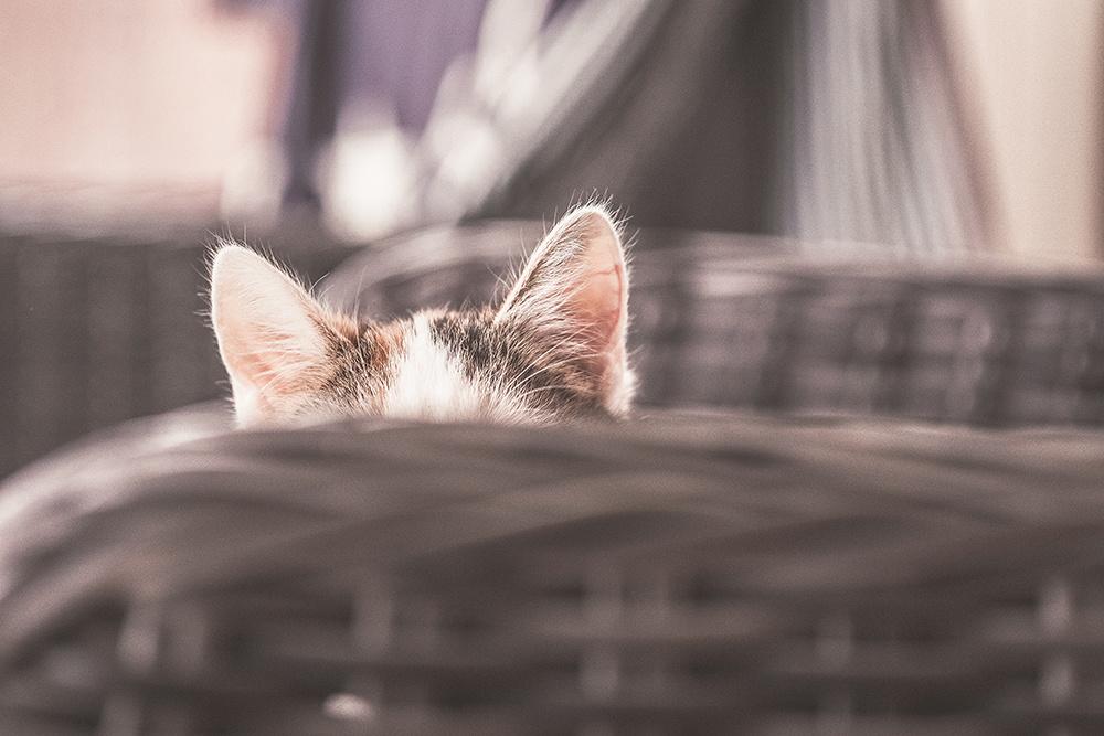 Kat die verstopt zit achter de leuning van een stoel. Je ziet alleen de kattenoren.