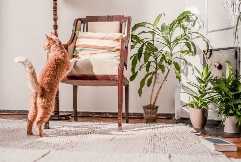 Kat die op zijn achterpoten staan tegen een oude stoel aanstaat.