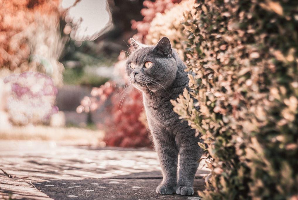 Blauwe rus kat die naast een heg staat en in de verte kijkt.
