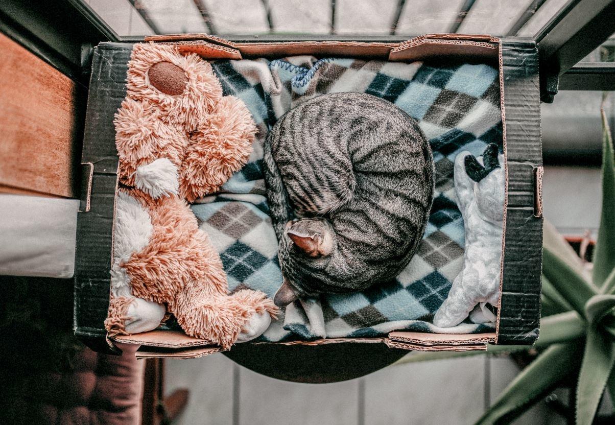 Kat die ligt te slapen in een kartonnen doos met daarnaast een knuffelbeer.