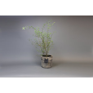 Planter 15 GOG 3250