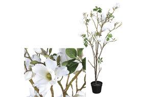 PTMD PMTD Tree Magnolia white tree in black pot