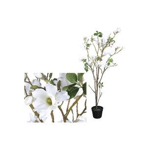 PMTD Tree Magnolia white tree in black pot