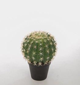 Cactus Melocactus Violaceus in pot 24cm