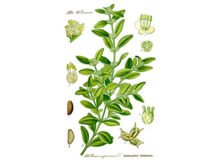 Buxus Sempervirens Arborescens - Mushroom - C 150