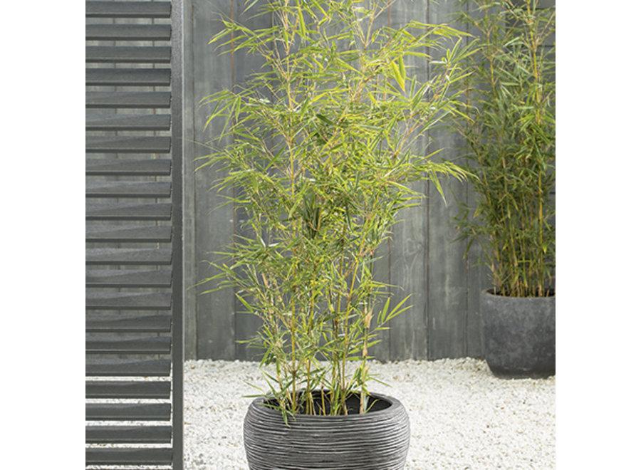 Bambusa Fargesia Tauro/Campbell 10Lt