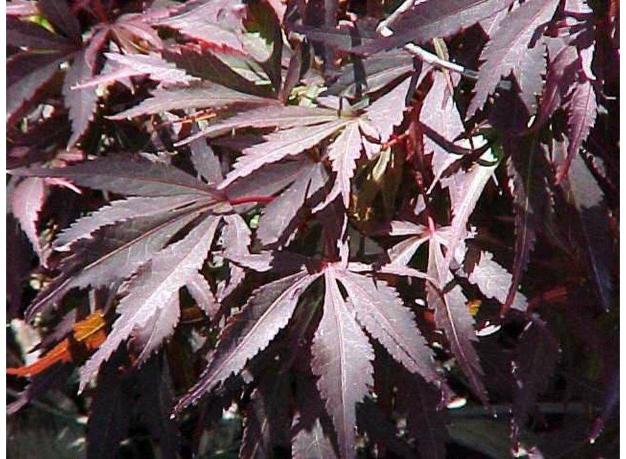 Acer Palmatum Shaina 40Lt Cup