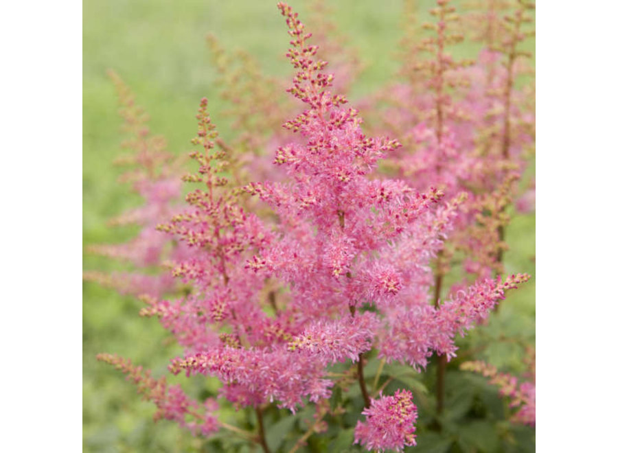 Astilbe 'Younique Lilac Pink'