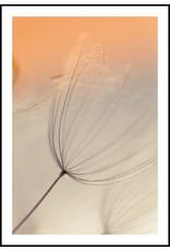 Dunnebier Home Poster Uitgebloeide paardenbloem in ondergaande zon