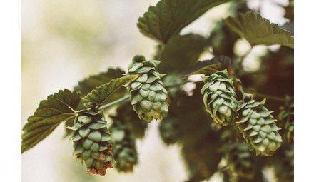 IPA / India Pale Ale