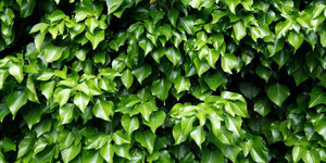 Klimplanten tegen schutting of hekwerk