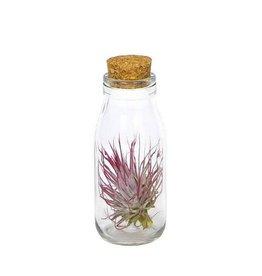 Plantophile Tillandsia in fles met kurk - 15 cm