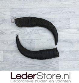 Waterbuffel hoorns 50cm
