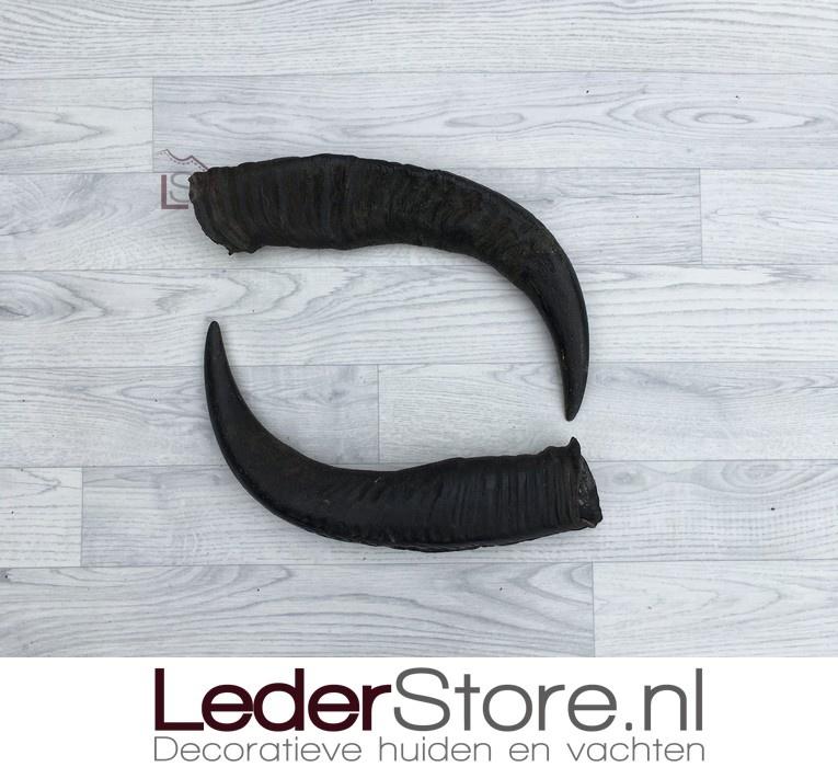 Water Buffalo horns 50cm