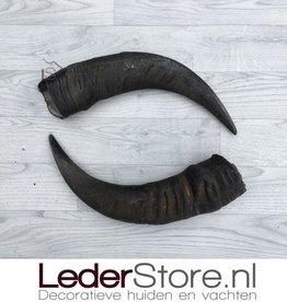 Waterbuffel hoorns 45cm