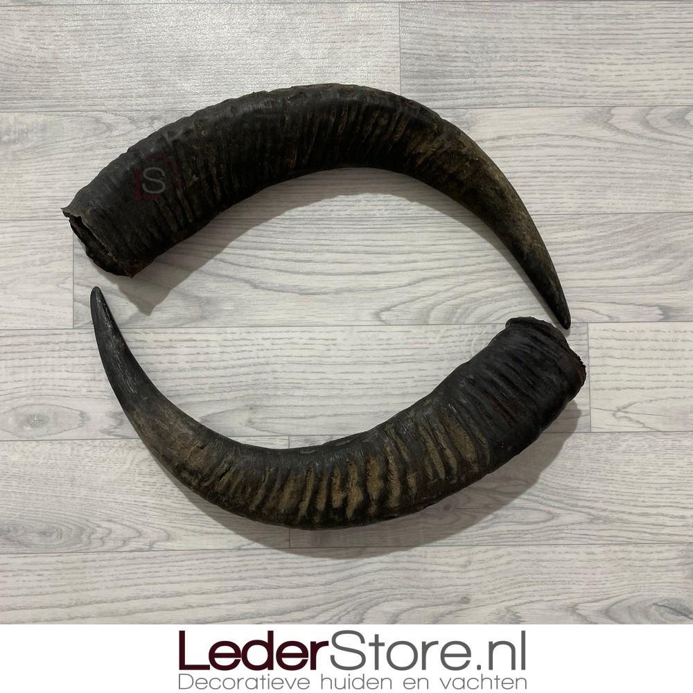 Waterbuffel hoorns 60cm