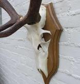 Ongelijk 10-ender EDELHERT GEWEI op houten schild