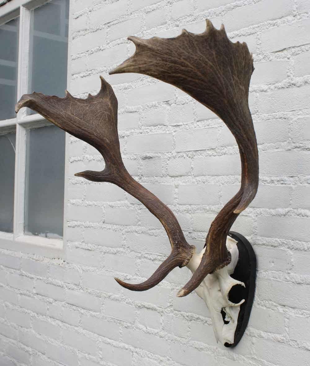 Middelgroot DAMHERT GEWEI op houten schild