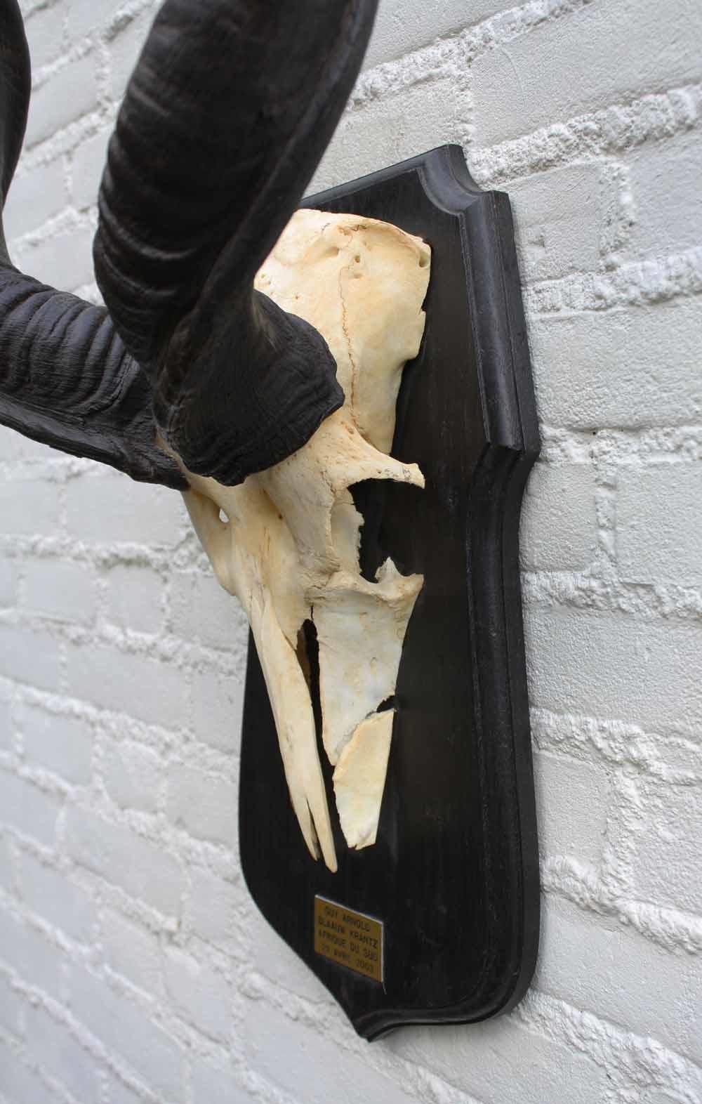 Grote schedel KUDU ANTILOPE op houten schild