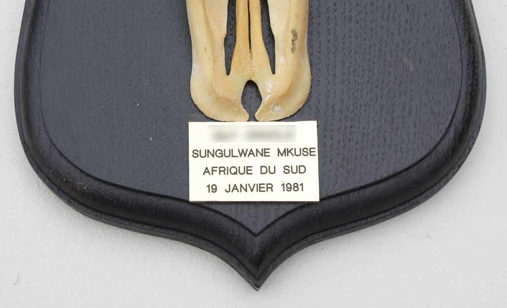 Schedel BLESBOK op zwart houten schild