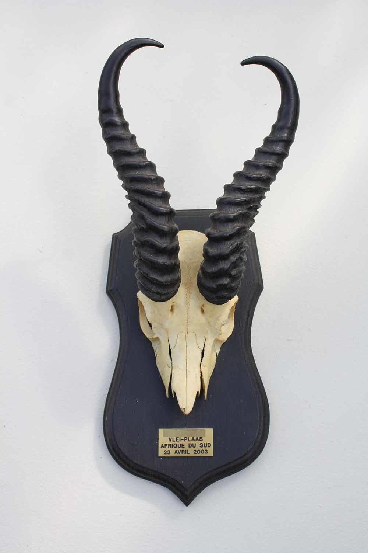 Schedel SPRINGBOK op zwart houten schild