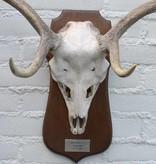 Middelgroot DAMHERT GEWEI op houten schild - afkomstig uit België